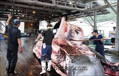 [转帖]日本无视国际舆论,捕杀鲸鱼依然故我