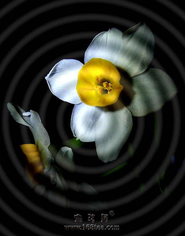 [原创]又到水仙开花时