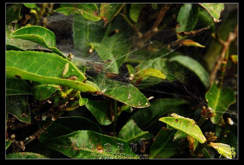 森林之中----茶家寨原生态茶园