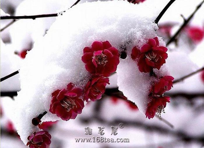 [原创]浴雪迎风白衬�t,清高傲世