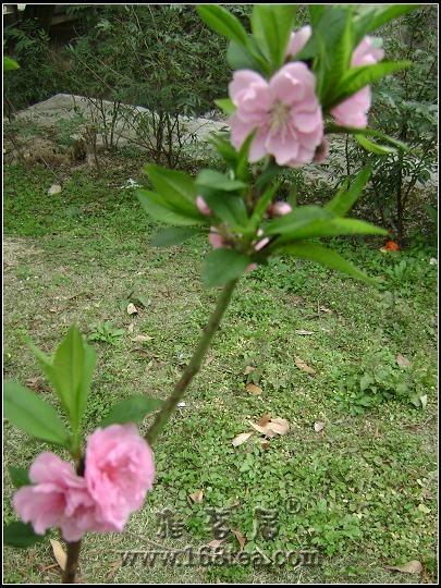 桃花园中观桃花