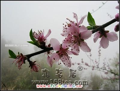 [原创]盛开的桃花