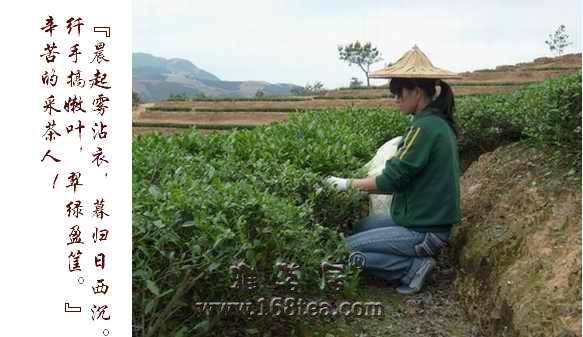 游安溪看做茶品新茶(二)