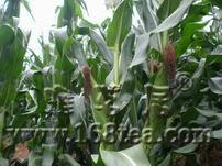[改种玉米]地里的玉米长高了