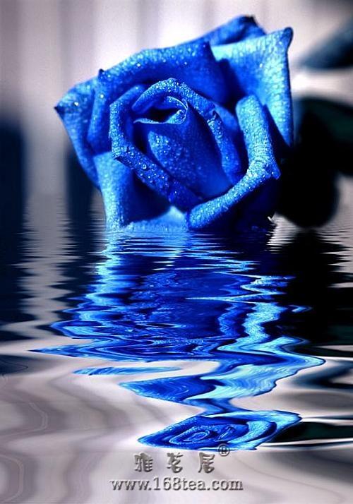 七律·咏玫瑰