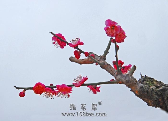 [原创]红梅迎春