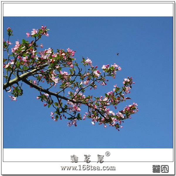 旗山美景之——旗山樱之花
