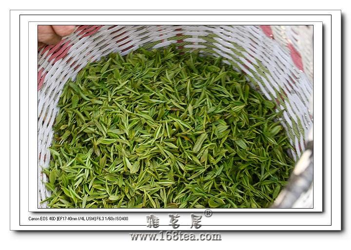 杭州:梅家坞采茶啦!(图)