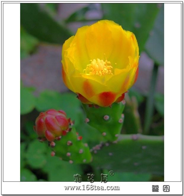 沙漠精灵――仙人掌之花
