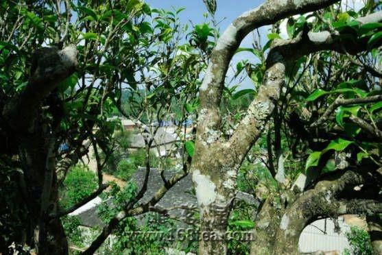 勐海老班章普洱茶