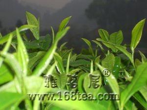 绿茶的特性及功效