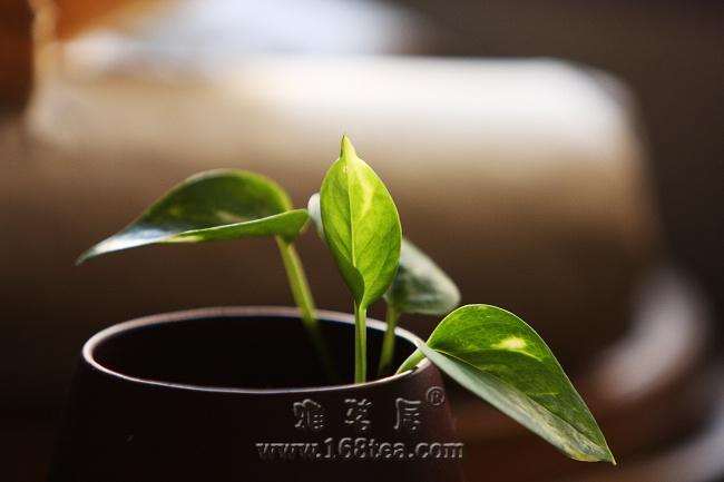 茶盘上的植物