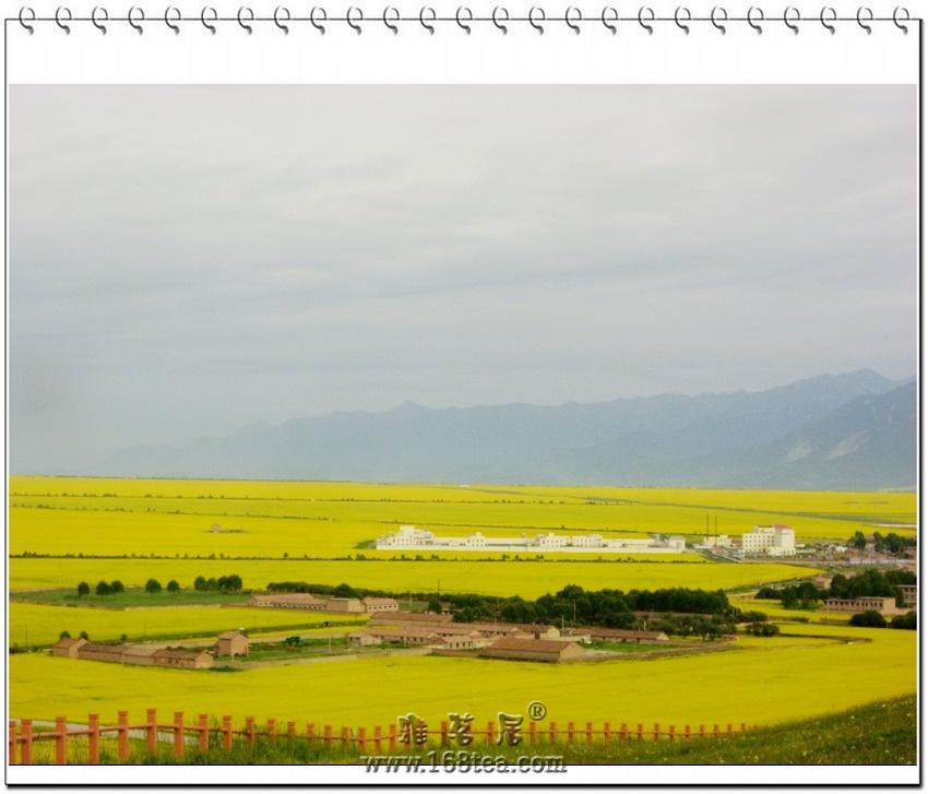 大地艺术----青海门源百里油菜花
