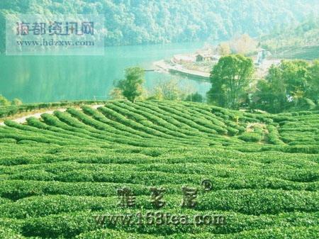 探秘中国福建安溪乌龙茶茶树品种(图)
