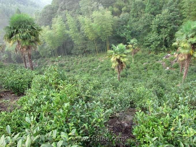 09武夷访茶之:桐木正山小种 生态茶园