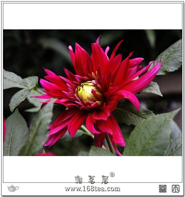 花中之相——芍药花