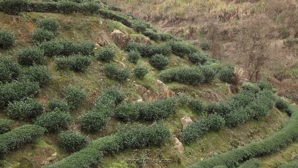 陡峭的茶园....