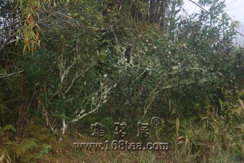 请问这是什么茶树!