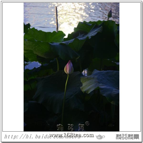 荷香阵阵伴夕阳(2010年西湖荷花)