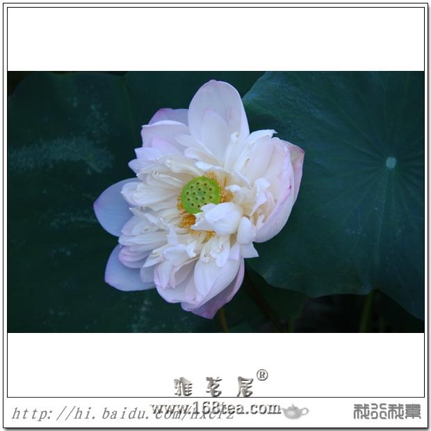 夏 荷(2010年茶亭公园荷花)