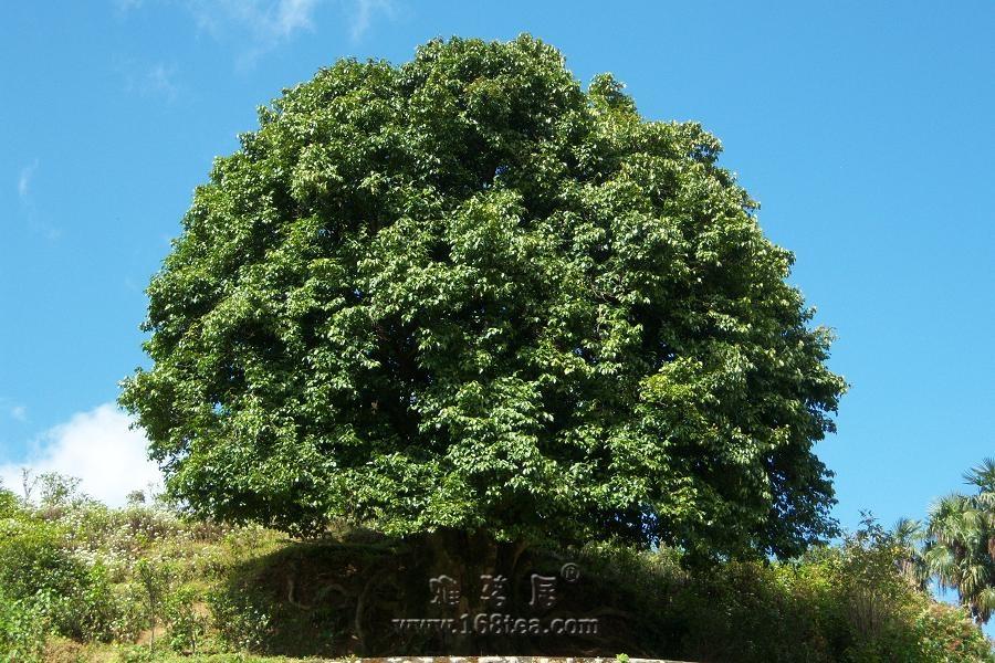 世界最大、最古老的人工栽培型的古茶树——香竹箐茶祖
