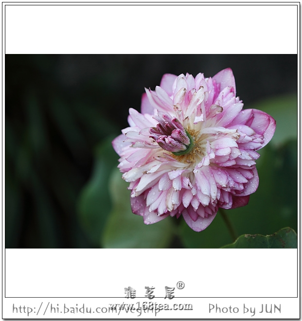桃源洞莲花·盛放