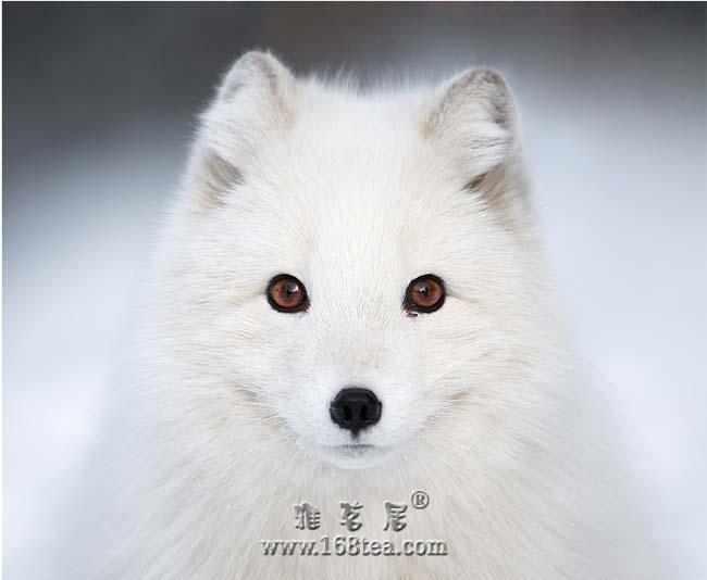 千年的白狐