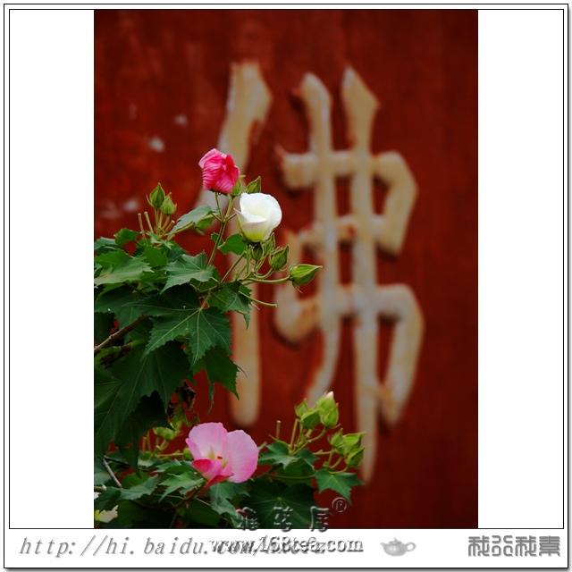 清水芙蓉……(福州北峰林阳寺)