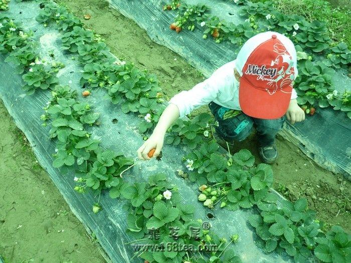 闽侯白沙湾看油菜花摘草莓