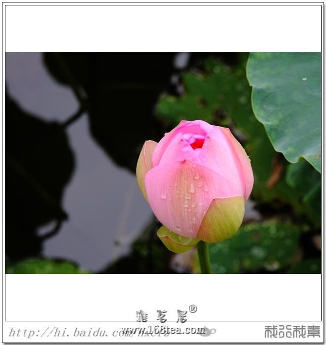 2012�}都茶亭��之―荷�清香