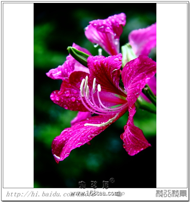 2012閩都茶亭蓮記之—敢与荷爭艳