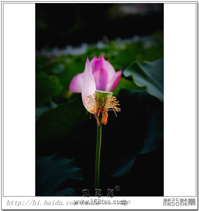 2012�}都茶亭��之―相伴荷塘展别韵