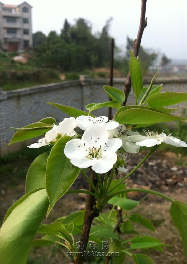 梨树开花了