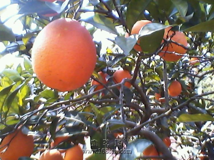 妹妹家的脐橙园