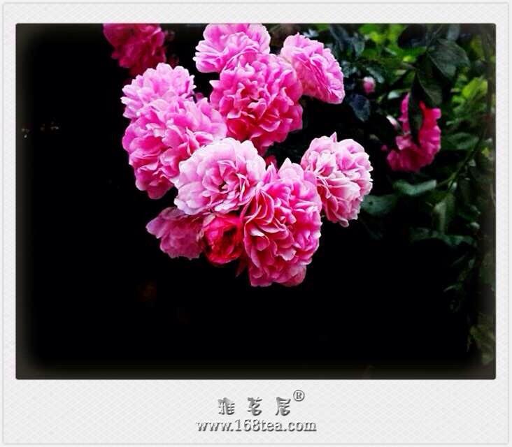 蔷薇无力卧晓枝