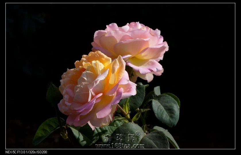 花儿朵朵祝茶友们双节快乐