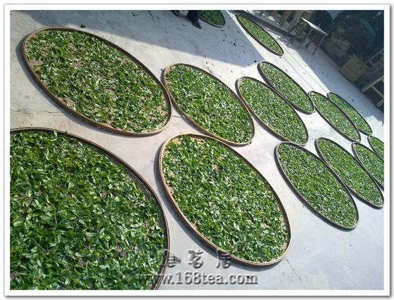 凤凰单枞茶树株系的形态特征