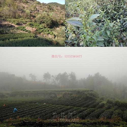 2019西湖龙井、江南大佛龙井上市了,牙头茶!