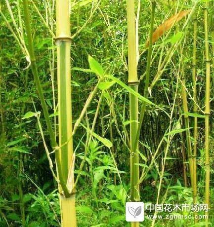 金镶玉竹节珍奇,赏心悦目。
