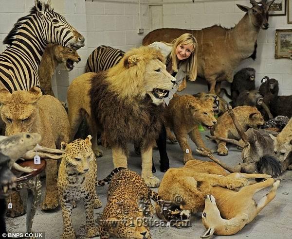 标本艺拍迎复苏 英拍卖行出售奇异动物标本(图)