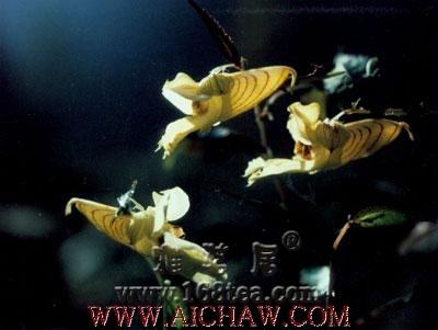 龙虾花茶的制作过程