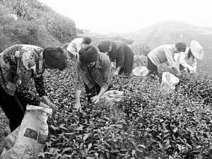 平和万亩白芽奇兰茶园冬茶