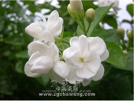 茉莉鲜花收购过程的质量管理