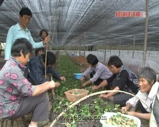 安徽绩溪:油茶产业助农民增收