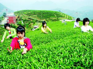 平和白芽奇兰春茶开始采摘