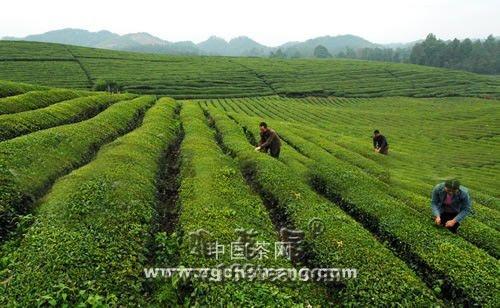 看湄潭如何打造贵州茶产业第一县