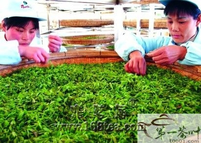泰安市:加工女儿茶