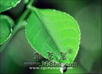 茶叶加工知识问答(图)