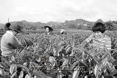 武夷岩茶大红袍开始大面积开采