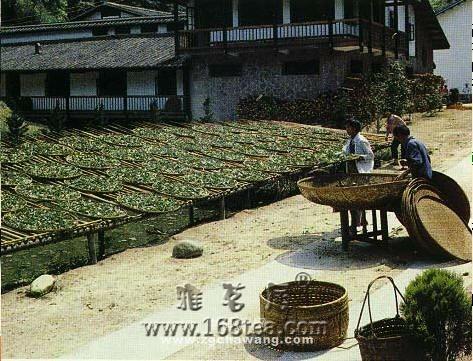 乌龙茶加工过程(组图)